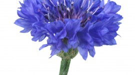 Cornflowers Wallpaper For Android