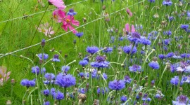 Cornflowers Wallpaper For IPhone Download