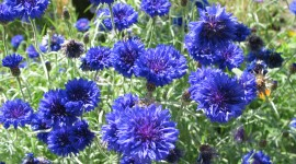 Cornflowers Wallpaper For PC