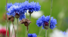 Cornflowers Wallpaper For The Smartphone
