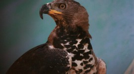 Crowned Eagle Best Wallpaper