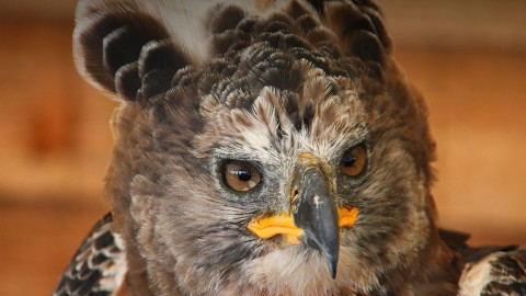 Crowned Eagle wallpapers high quality