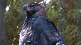 Crowned Eagle Wallpaper Background