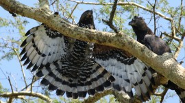 Crowned Eagle Wallpaper Download Free