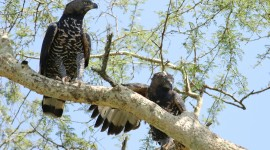 Crowned Eagle Wallpaper For Desktop
