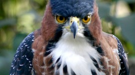 Crowned Eagle Wallpaper For IPhone Download