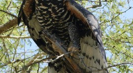 Crowned Eagle Wallpaper For Mobile