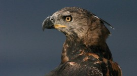 Crowned Eagle Wallpaper Free