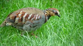 Crowned Partridge Wallpaper Background