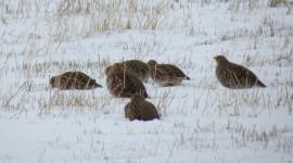 Crowned Partridge Wallpaper Free