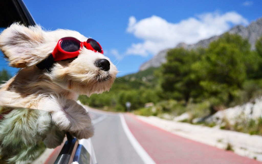 Dog In The Car wallpapers HD