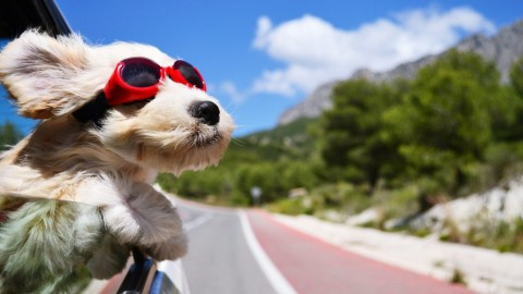 Dog In The Car wallpapers high quality