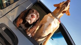 Dog In The Car Wallpaper Free