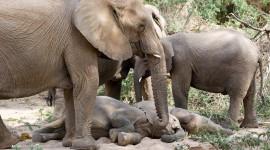 Elephants Sleep Desktop Wallpaper
