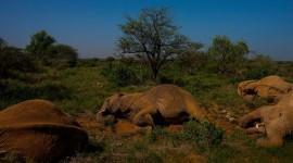 Elephants Sleep Photo Download