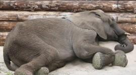 Elephants Sleep Photo Free