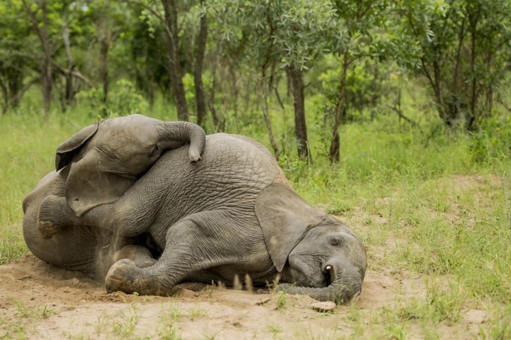 Elephants Sleep wallpapers HD