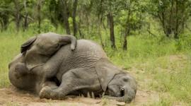 Elephants Sleep Wallpaper