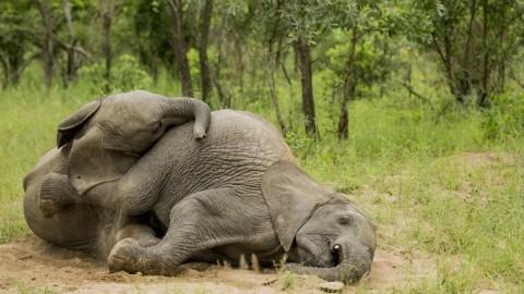 Elephants Sleep wallpapers high quality