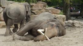 Elephants Sleep Wallpaper Free