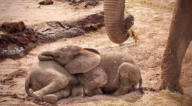 Elephants Sleep Wallpaper HQ