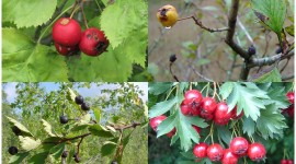 Hawthorn Wallpaper Download Free