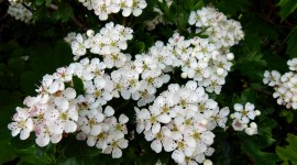 Hawthorn Wallpaper For PC