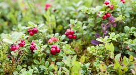 Lingonberry Wallpaper Download
