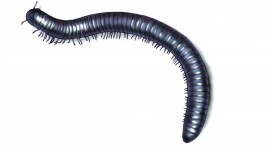 Millipedes High Quality Wallpaper