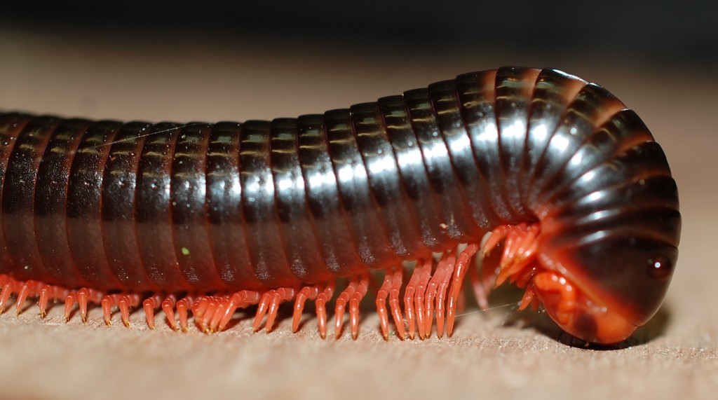 Millipedes wallpapers HD