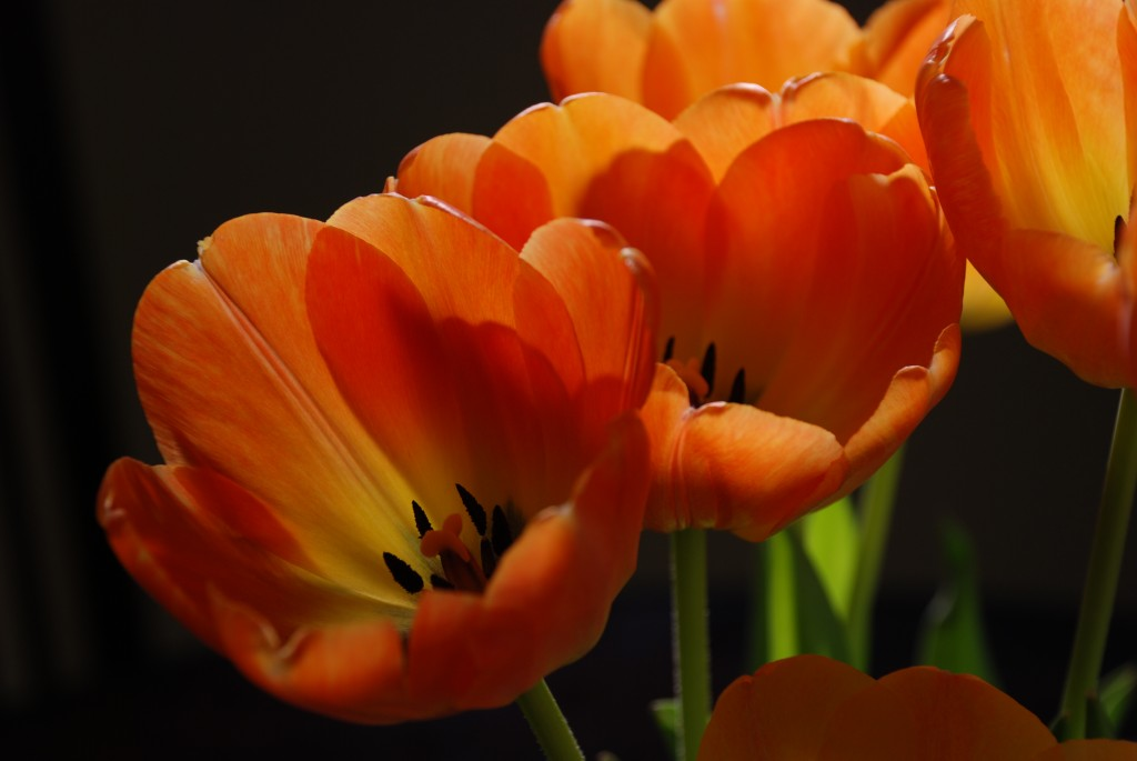 Orange Tulips wallpapers HD