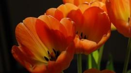 Orange Tulips Best Wallpaper