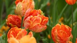 Orange Tulips Desktop Wallpaper