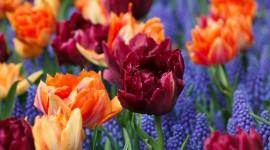 Orange Tulips Desktop Wallpaper HD