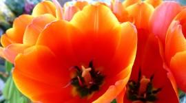 Orange Tulips Photo Download