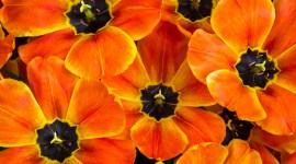 Orange Tulips Wallpaper Background