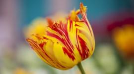 Orange Tulips Wallpaper Download