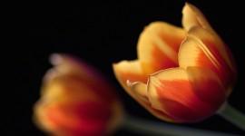 Orange Tulips Wallpaper For PC