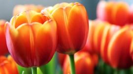 Orange Tulips Wallpaper Full HD