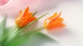 Orange Tulips Wallpaper#1