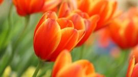 Orange Tulips Wallpaper#2