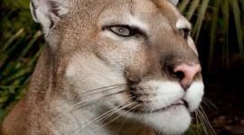 Puma Desktop Wallpaper