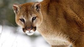 Puma Wallpaper 1080p