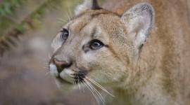 Puma Wallpaper Download