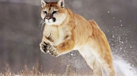 Puma Wallpaper For PC