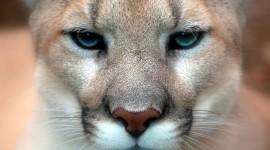 Puma Wallpaper Full HD