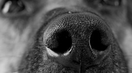 Puppy Nose Wallpaper For Desktop