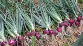 Red Onion Wallpaper Download