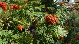 Rowanberry High Quality Wallpaper