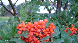 Rowanberry Wallpaper For IPhone 6